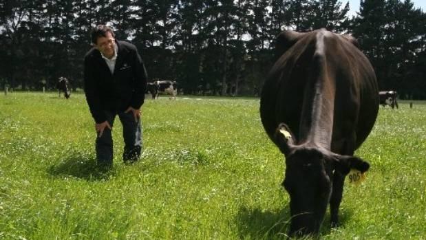 Dr Nicolas Lopez-Villalobos  checks cow conformation on Dairy 1.