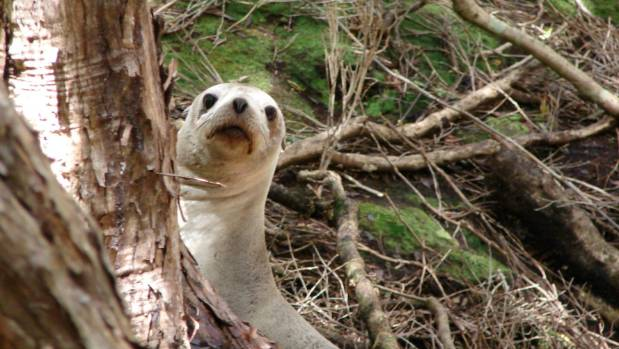 """Sea lions in the Auckland Islands were """"like a young teenager with attitude wanting a tussle"""", said teacher Jeremy Tizard."""