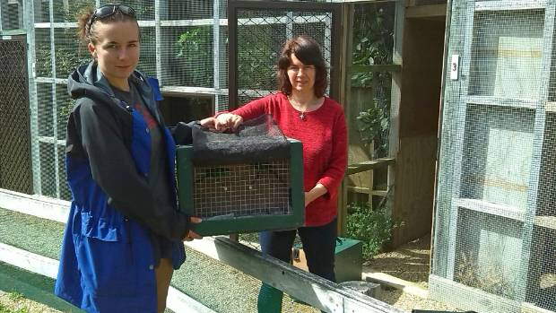 Leona and Ellen Plaisier taking yellow crowned kakariki from the aviaries at Tui Nature Reserve for release in the Abel ...