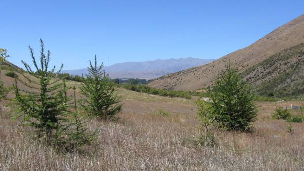 Wilding conifers are spreading fast across North Otago's Quailburn Station.