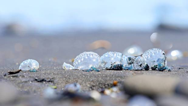 Bluebottle jellyfish have been washing up on New Plymouth's beaches.