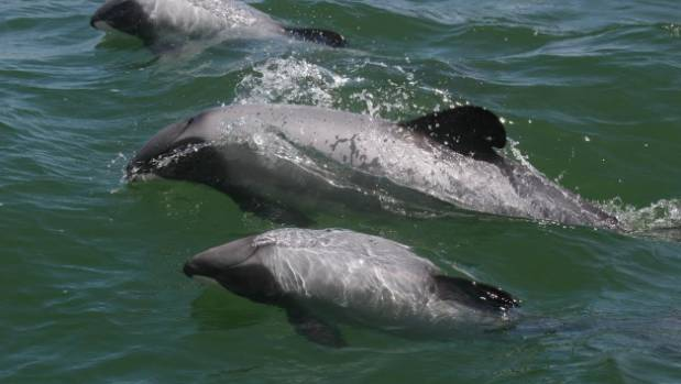Maui's dolphins are distinguishable from other dolphin species by their rounded dorsal fins and small bodies.