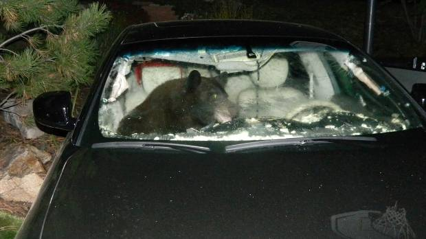 A bear in search of food had no problem opening the door of this car so it could jump in a forage round.