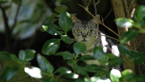 Feral cats are posing issues for wildlife in some parts of Southland.