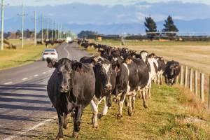 Cows are moved, near Rakaia.