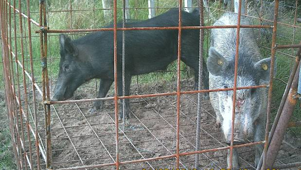 Steve Knudsen's suspicions that pigs are being released for hunting on his Hunua Ranges doorstep hardened when he ...