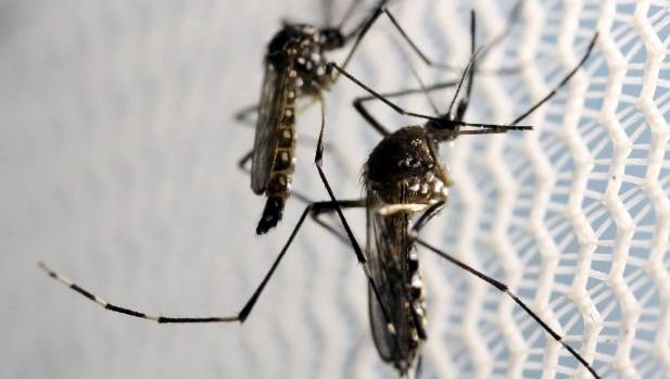 Aedes aegypti mosquitos are the villain in the Zika crisis.