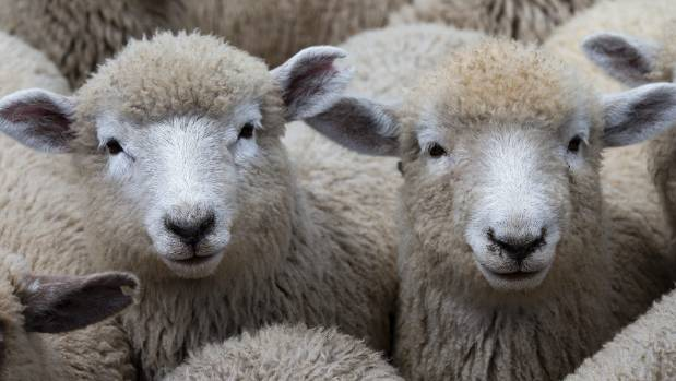 Lamb prices did not fulfill predictions this season, with a corresponding forecast profit drop by June.
