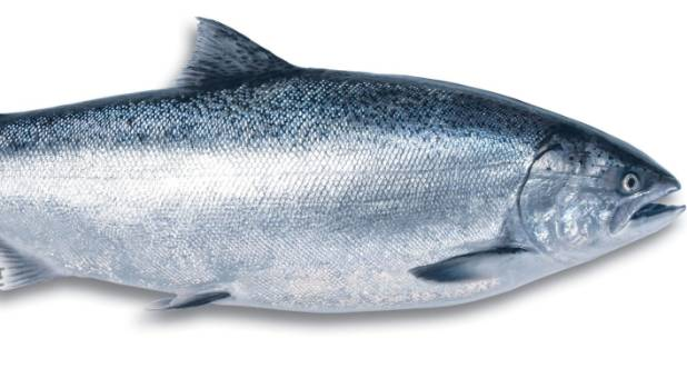 The king salmon is the powerhouse of the salmon world.