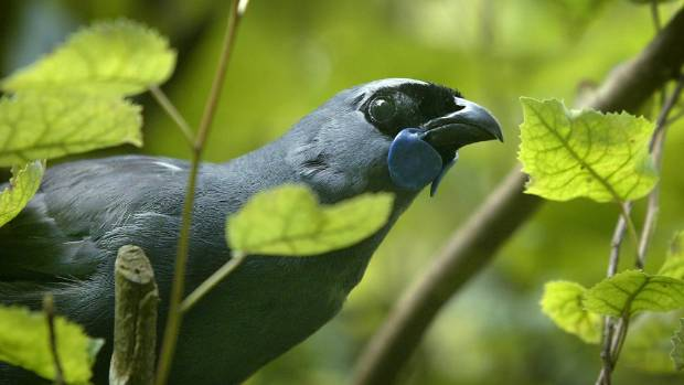 13 kokako chicks have fledged after a 1080 poison drop in Auckland's Hunua Ranges.