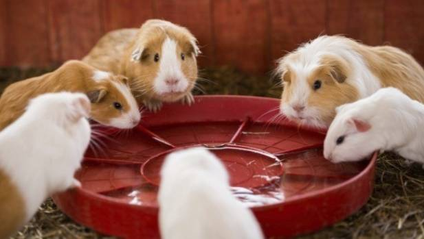 As well as being pets, guinea pigs are extensively used in research.