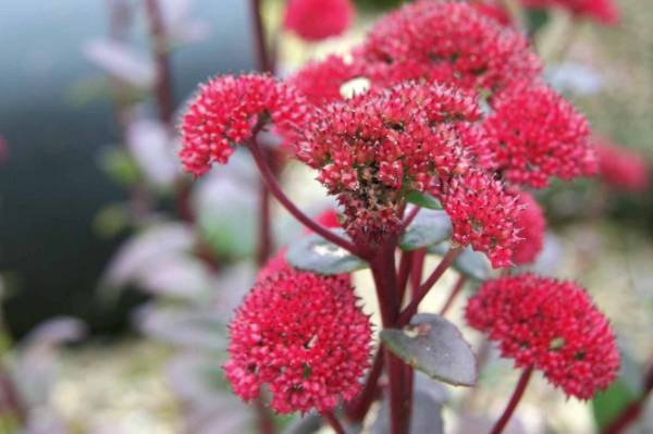 Sedum 'Red Cauli': One of the best of the new sedums, this has perhaps the reddest flowers of all. In my garden it tends ...