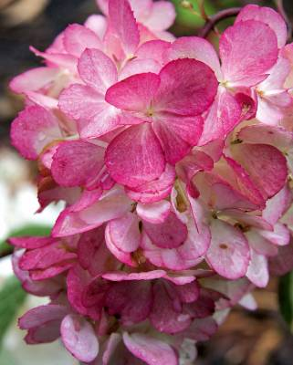 Hydrangea serrata 'Preziosa' : Species hydrangeas are often more refined than the macrophylla types and this is ...