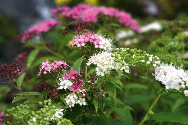 Japanese meadowsweet: I still can't tell if this clever little shrub produces white flowers that mature to pink or ...