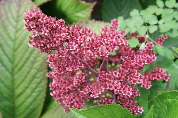 Rodgersia 'Superba': One of those statuesque and beefy plants you need to give more puny flowers something to lean on. ...