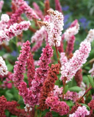 Persicaria affinis: The fleece flower, with its drumstick blooms in myriad  candycane shades, is native to the rocky ...