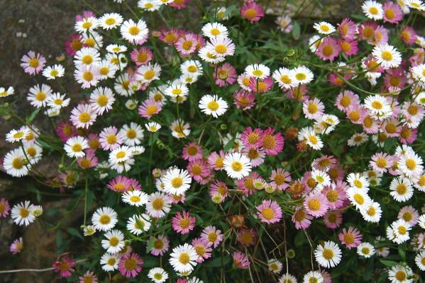 Mexican daisy: Erigeron karvinsianus used to be popular for its daisies in shades from rose to white and its long ...