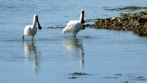 Local spoonbills wading in the water.