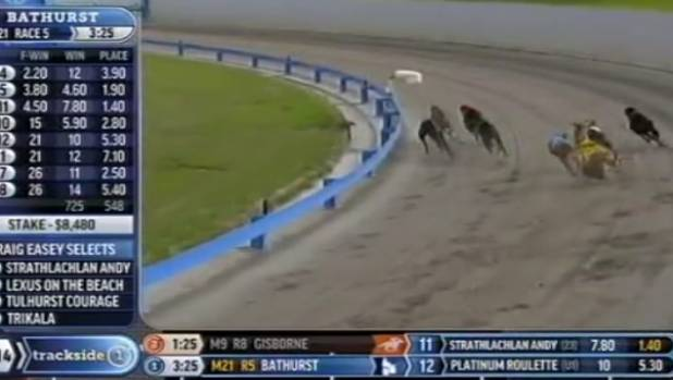 Jay Low tumbles in race 10 at the Auckland greyhounds meeting on Sunday.