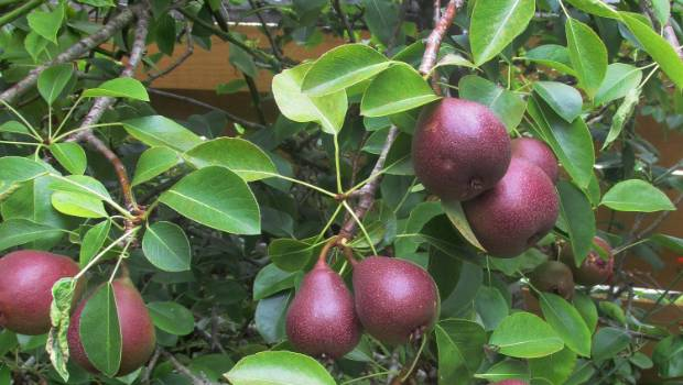 How And When To Prune Apple Pear And Cherry Trees Stuff Co Nz
