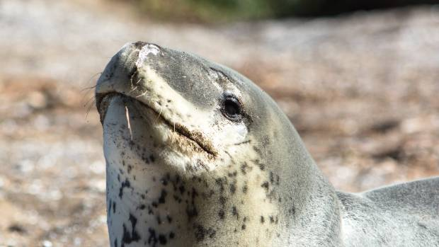 Leopard seals have a ferocious set of teeth used to snatch penguins and fish.