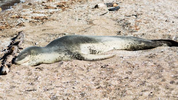 The juvenile leopard seal weighing an estimated 200 kilograms could grow to 600kg.