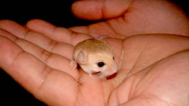 baluchistan pygmy jerboa tiny but adorable stuff co nz