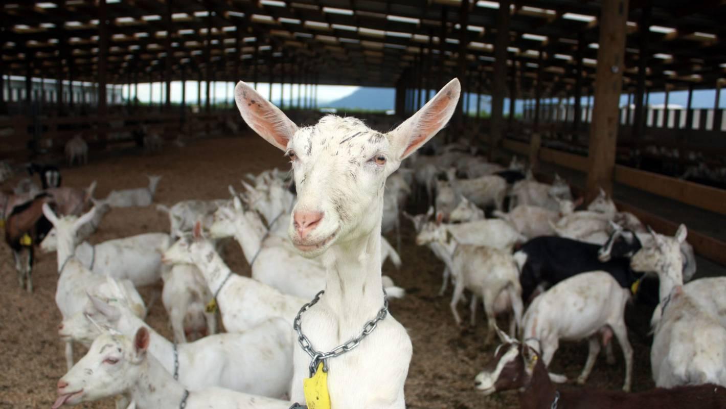 Animal Breastfeeding Porn why goats used to breastfeed human babies   stuff.co.nz