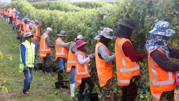 Thai RSE workers, employed by Vinepower Ltd, pick grapes in a Marlborough vineyard.