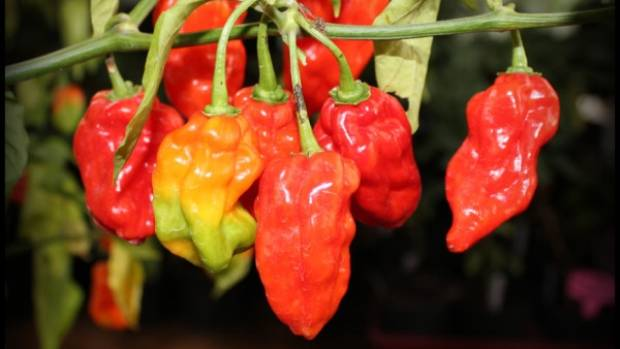 Bongo chillies, a type of habanero, are known for their extreme heat.