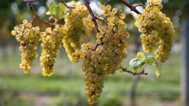 Nelson winemakers are scrambling to harvest their crop ahead of Cyclone Debbie's arrival.