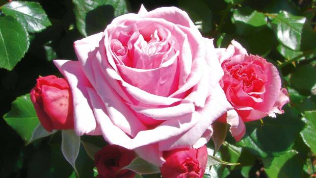 Roses Are In Full Bloom Leading Up To Christmas Pick Them The Morning And Can Last For A Good Week Vase With Fresh Water