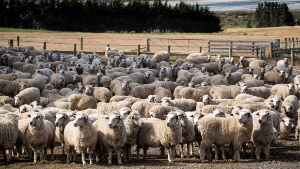 Cleardale's halfbred flock is created by putting English leicester rams over merino ewes, using genetics from the ...