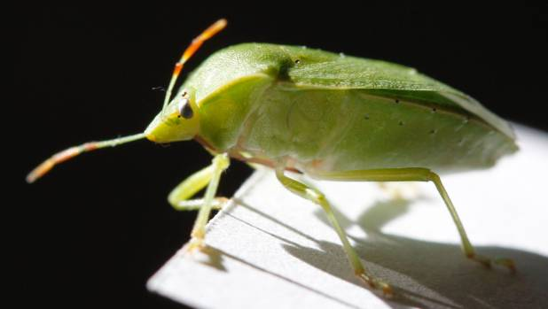 Stink bugs will suck your plants' sap.