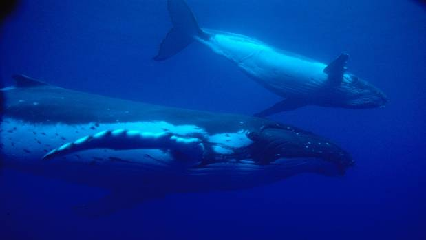 A humpback whale and her calf migrating through Kermadec waters.