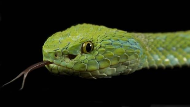 A pit viper.