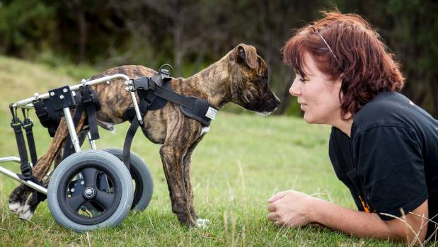 HUHA's Carolyn Press-McKenzie with Beanie, a puppy found abandoned in Hutt with paralysed back legs.