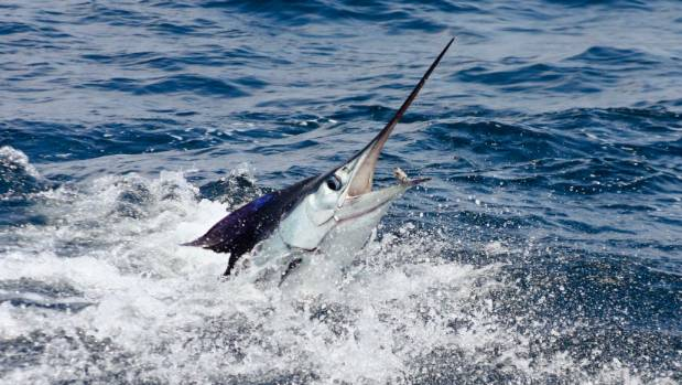 Marlin drags fisherman into remote waters off Australia