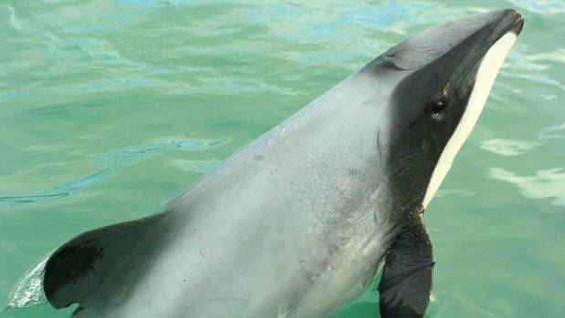 Some estimates put the number of Maui's dolphin at under 50, and sightings of them are rare.