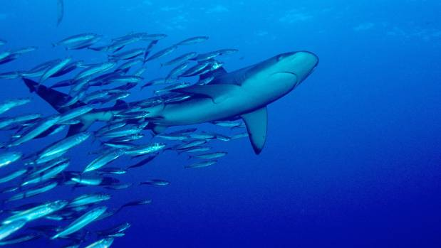 Galapagos sharks, a common sight around the Kermadec Islands, where seabed fishing has been banned for many years