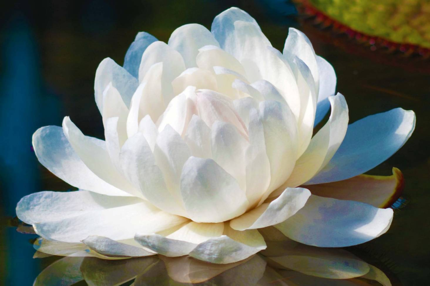 How to grow the giant water lily stuff izmirmasajfo