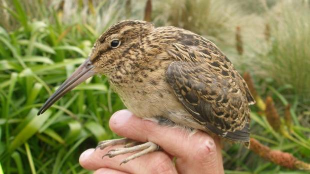 A juvenile Campbell Island snipe. The sub-species was unknown to science until 1997. It recolonised Campbell Island ...