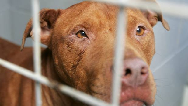 why pit bulls are more dangerous Are pit bulls dangerous in many cases, pit bull dogs are considered dangerous  so this can lead us to think that what makes a dog more dangerous than others are.