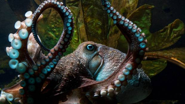 Inky the octopus escaped from the National Aquarium in Napier.
