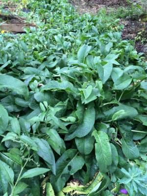 Comfrey is a great plant for making natural fertilisers, but it can take over your garden, so keep it contained. Take ...