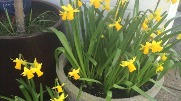 How to plant spring bulbs in pots stuff plant daffs in containers now for a fab spring display mightylinksfo
