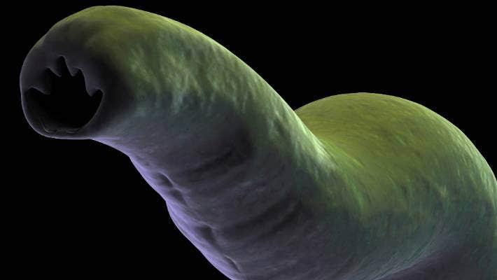 Whipworm este un helminth