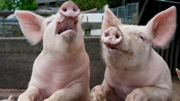 New animal welfare regulations aimed at protecting pigs and other livestock are up for discussion.