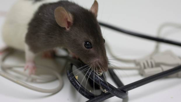 Beware Of The Fire Hazard That Comes With Rats And Mice