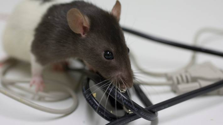 Beware of the fire hazard that comes with rats and mice | Stuff co nz
